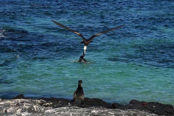 Mangle Point (Fernandina), Galapagos Eeilanden